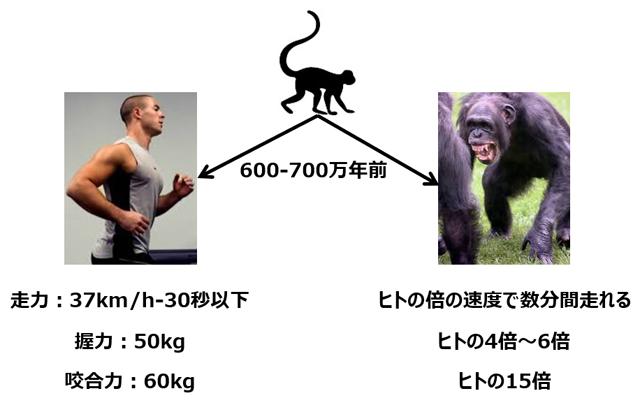 600万年前に分かれたヒトとチンパンジーの身体能力差